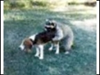 Beagle & Friendly Coon